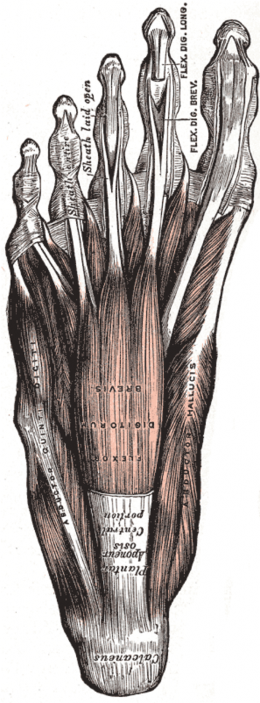 arch muscles